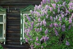 Arbusto lilás em janelas da casa velha Fotografia de Stock Royalty Free