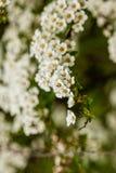 Arbusto macro de pequeñas flores blancas en una rama Fotos de archivo