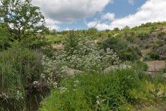 Arbusto medicinal de la valeriana de la hierba que crece en el barranco de Arbuzynka Imagenes de archivo