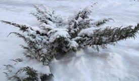 Arbusto (microbiota) nella neve La Russia Fotografia Stock
