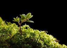 Arbusto minúsculo da airela Fotografia de Stock Royalty Free