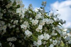 arbusto Mofa-anaranjado en la floraci?n imagenes de archivo