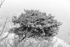 Arbusto nevado do pinho Imagens de Stock Royalty Free