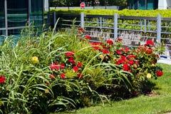 Arbusto ornamentale con le rose Fotografia Stock