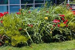 Arbusto ornamentale con le rose Fotografia Stock Libera da Diritti