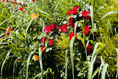 Arbusto ornamentale con le rose Immagine Stock Libera da Diritti