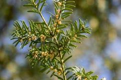 Arbusto ornamentale di taxus baccata in fioritura, rami coniferi con gli aghi verdi e forte allergene della molla Fotografie Stock Libere da Diritti