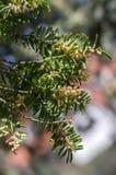 Arbusto ornamentale di taxus baccata in fioritura, rami coniferi con gli aghi verdi e forte allergene della molla Fotografia Stock