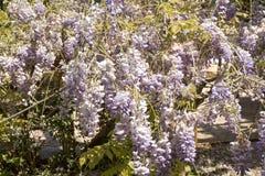 Arbusto púrpura del wistaria Fotografía de archivo libre de regalías