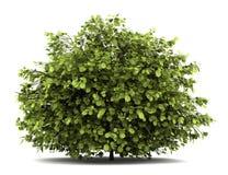 Arbusto pardo común en blanco stock de ilustración