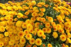 Arbusto pequeno amarelo do crisântemo Plantas de jardim do outono Fundo brilhante das flores foto de stock