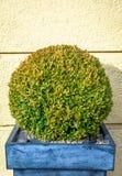 Arbusto pequeno Fotografia de Stock