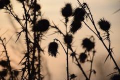 Arbusto pontudo Fotografia de Stock