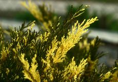 Arbusto raramente bonito - zimbro imagem de stock