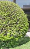 Arbusto redondo Imagen de archivo libre de regalías