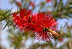Arbusto rojo Callistemon de la flor Abeja que busca el néctar dulce en la flor de Callistemon La inflorescencia de Fotografía de archivo