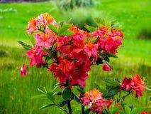 Arbusto rojo hermoso en el día soleado - detalle en la flor fotografía de archivo