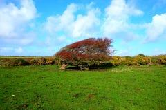 Arbusto rojo maduro azotado por el viento de la baya del espino, monogyna del Crataegus en a imagen de archivo