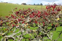 Arbusto rojo maduro de la baya del espino, monogyna del Crataegus foto de archivo libre de regalías
