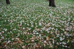 Arbusto rosa della tromba su erba verde fotografia stock libera da diritti