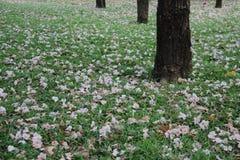 Arbusto rosa della tromba su erba verde e sull'albero immagine stock