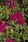 Arbusto rosado de la azalea Imagen de archivo