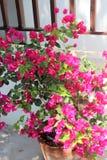 Arbusto rosado de la buganvilla Fotografía de archivo
