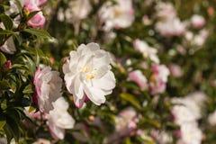 Arbusto rosado de la camelia en la floración Imágenes de archivo libres de regalías