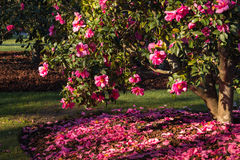 Arbusto rosado de la camelia en la floración Foto de archivo
