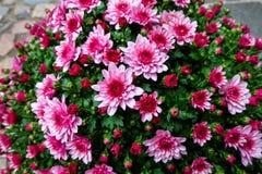 Arbusto rosado de la flor del crisantemo Imagen de archivo libre de regalías