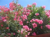 Arbusto rosado floreciente del adelfa Imagen de archivo