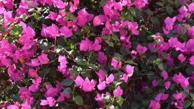 Arbusto rosado hermoso de las flores - spectabilis de la buganvilla, en el jardín del hotel egipcio en día soleado como fondo foto de archivo