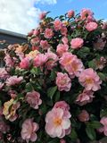 Arbusto roxo da camélia Fotografia de Stock Royalty Free