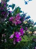 Arbusto roxo das flores imagem de stock royalty free