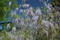 Arbusto roxo flourishing da glicínia na flor completa fotografia de stock royalty free