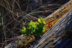 Arbusto salal minúsculo que crece fuera de un registro viejo de la playa fotografía de archivo