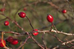 Arbusto salvaje de la cadera color de rosa en la naturaleza, cynosbati de Fructus Foto de archivo