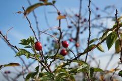 Arbusto salvaje de la cadera color de rosa en la naturaleza, cynosbati de Fructus Imagen de archivo
