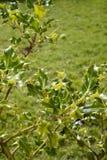 Arbusto salvaje del acebo Foto de archivo