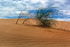 Arbusto salvaje en desierto de la duna Imágenes de archivo libres de regalías