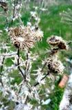 Arbusto seco de cardos Imagen de archivo