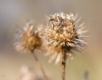 Arbusto seco del burdock fotografía de archivo libre de regalías