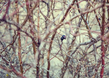 Arbusto seco dos rosehips Fotografia de Stock Royalty Free