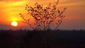 Arbusto seco que balança na brisa no por do sol Fotografia de Stock