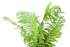 Arbusto selvagem do fern isolado imagens de stock royalty free
