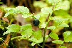 Arbusto selvagem do mirtilo com frutos Fotos de Stock Royalty Free