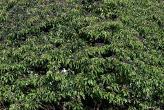 Arbusto selvagem lindo da hera com as bagas nas raizes seasonrgeous de um inverno suave que overgrowing uma árvore Fotografia de Stock