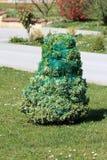 Arbusto sempre-verde decorativo coberto em líquido protetor e amarrado firmemente durante os dias de inverno frios cercados com g foto de stock