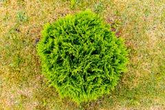 Arbusto sempre-verde que cresce na opinião superior do jardim foto de stock