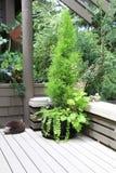 Arbusto sempreverde in un contenitore grazioso immagini stock